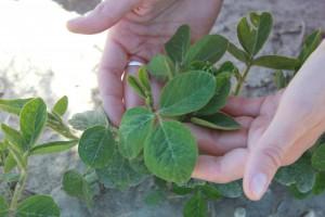 Noch messen die kleinen Sojapflanzen auf dem Testfeld bei Wien wenige Zentimeter. Wenn es nach Donau-Soja geht, sind sie der Grundstein