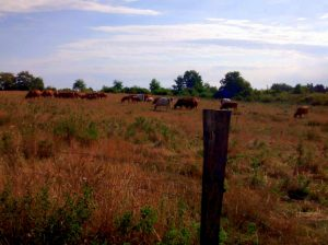 Kühe auf einer Weide (c) DM